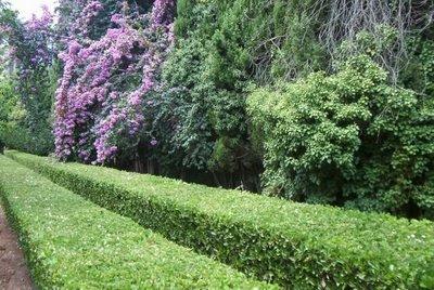 Ginkgo paisajismo cercos vivos - Plantas para setos altos ...